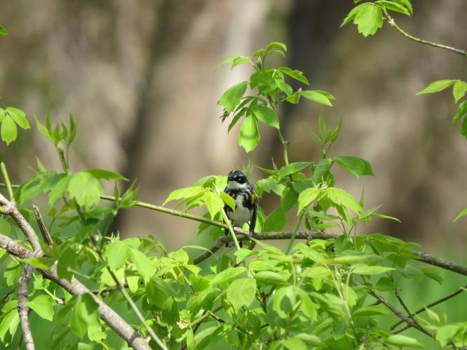 Myrtle Warbler IMG_8512