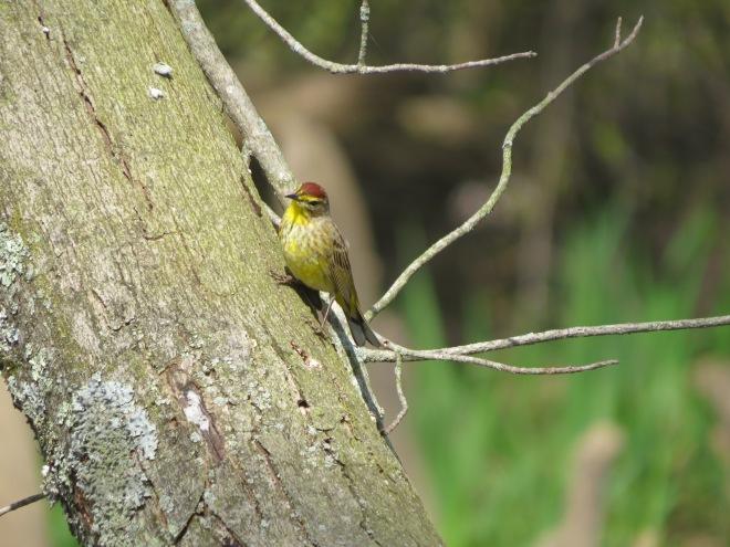 Palm Warbler bird IMG_8532