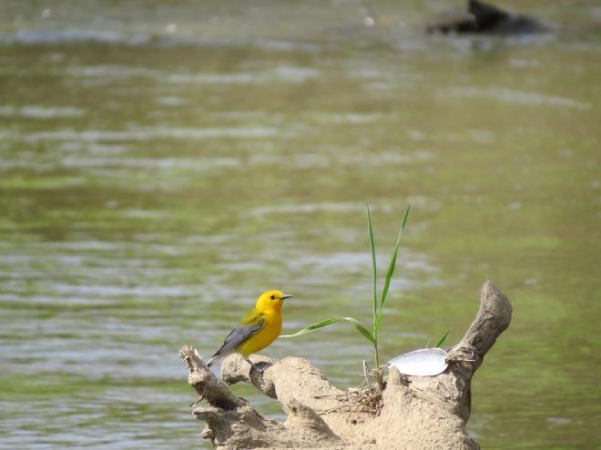 Prothonotary Warbler bird IMG_8542