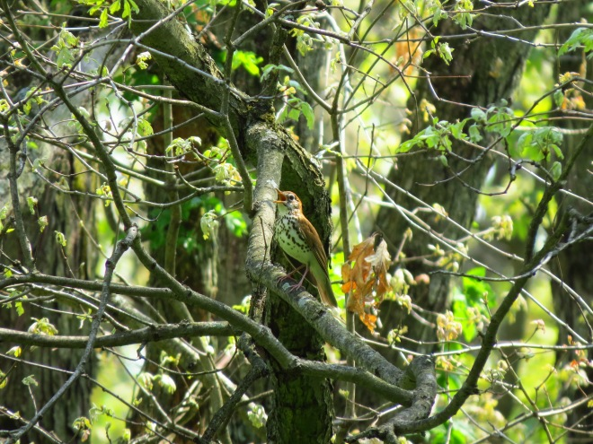Wood Thrush Bird IMG_8941
