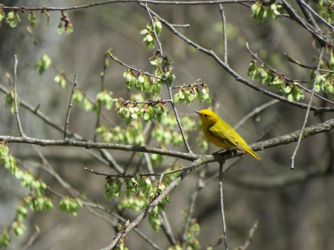 Yellow Warbler Bird IMG_8295