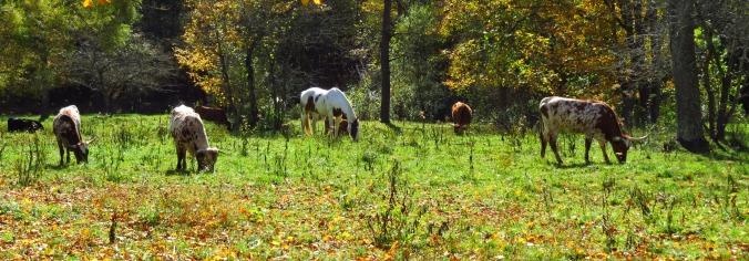 Longhorns IMG_7194