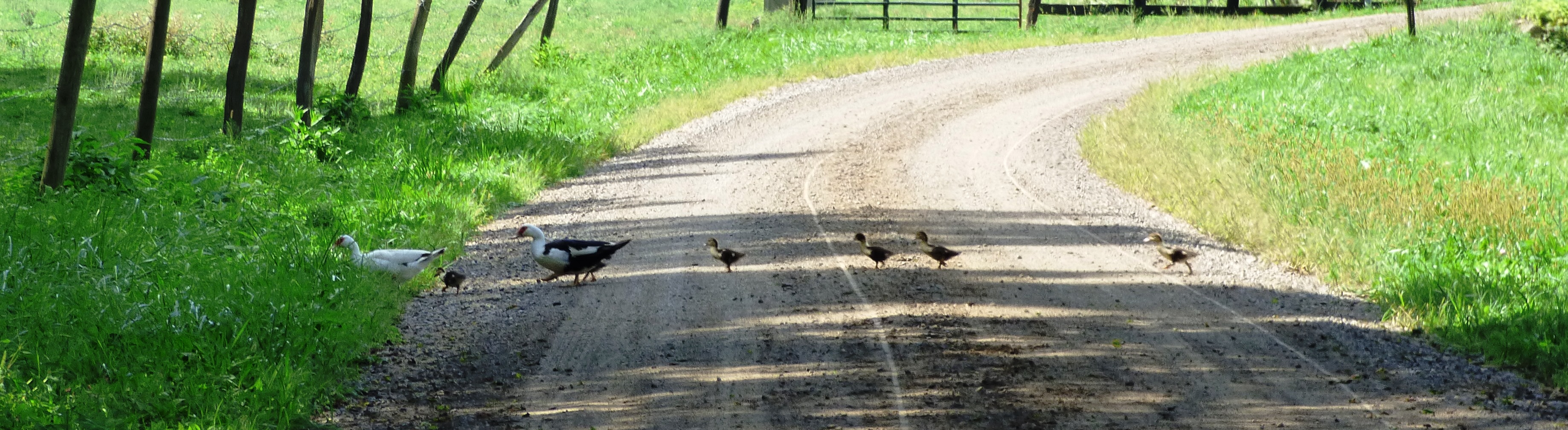Ducks P1030131