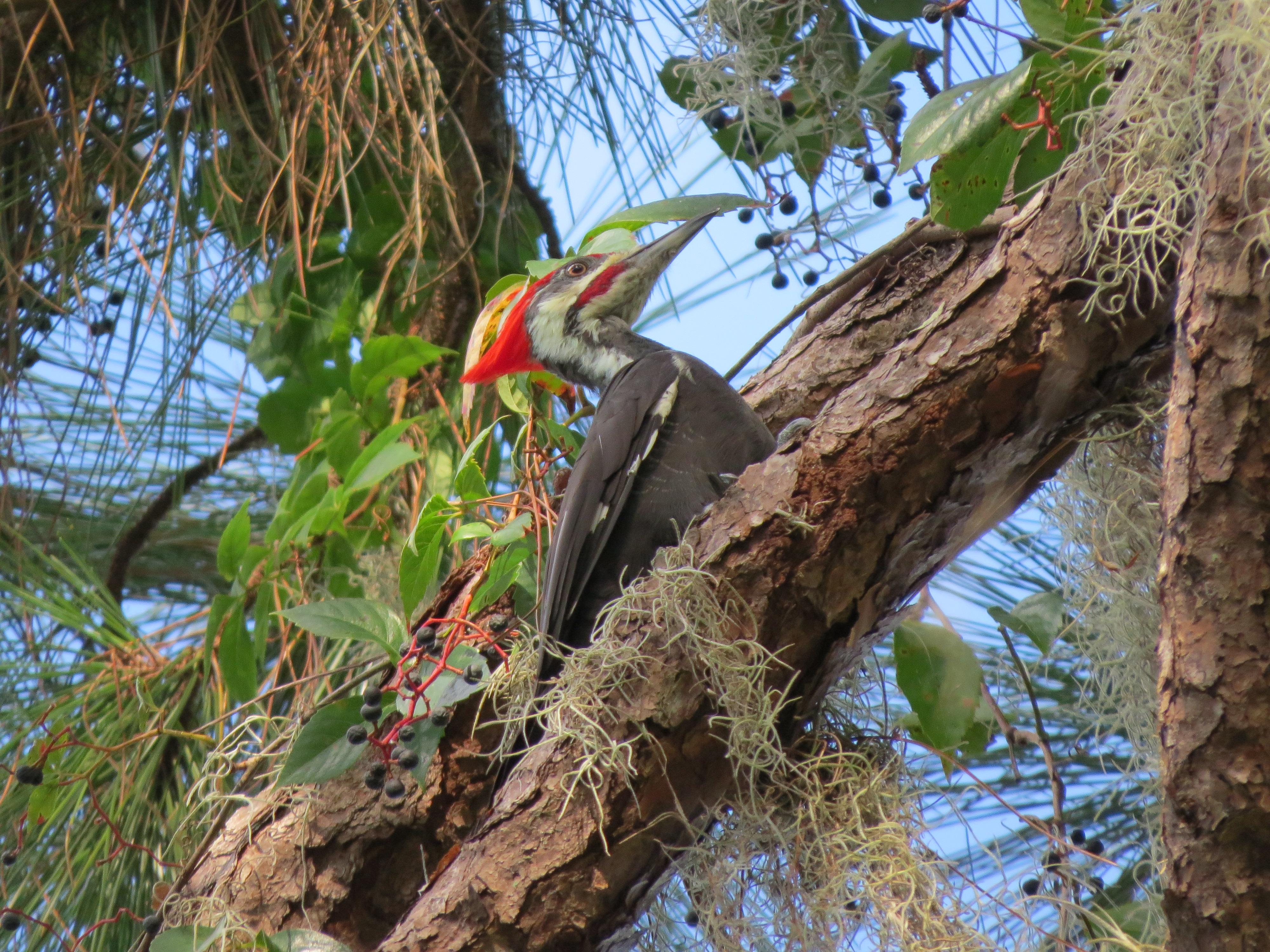 pileated-woodpecker-img_9521